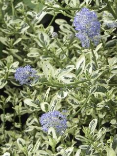 Céanothe impressus Cool Blue - Lilas de Californie