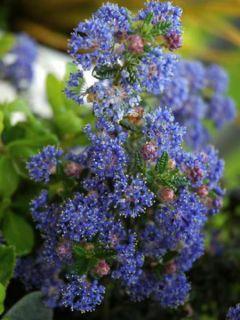 Céanothe impressus Puget blue - Lilas de Californie