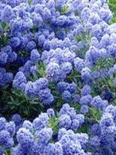 Ceanothus (x) Blue Mound