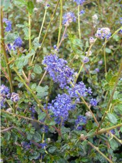 Céanothe Blue Sapphire