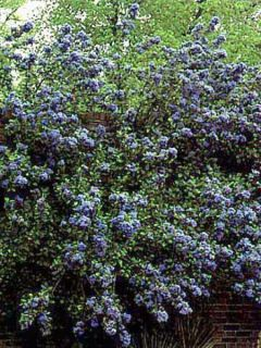 Céanothe arboreus Trewithen Blue