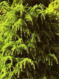 Cedrus deodara Aurea - Cèdre de l'Himalaya doré