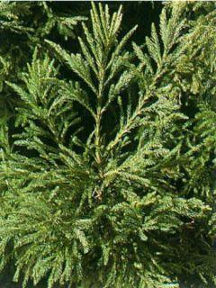 Cèdre du Japon Cristata - Cryptomeria japonica