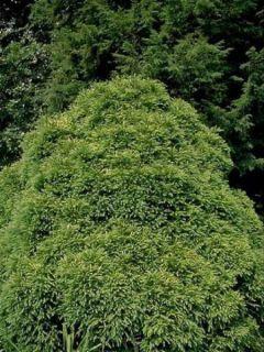 Cèdre du Japon Globosa Nana - Cryptomeria japonica