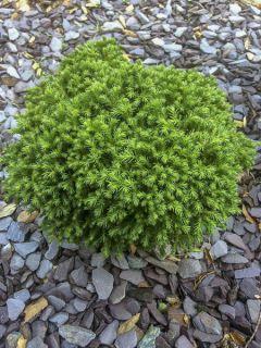 Cèdre du Japon 'Green Pearl'