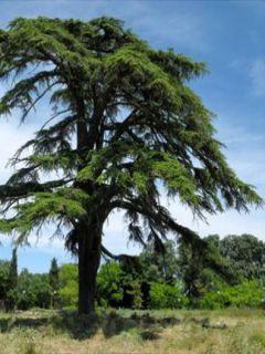 Cèdre du Liban - Cedrus libani