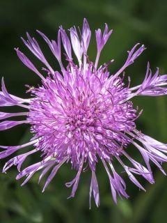 Centaurée jacée