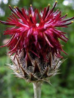 Centaurea atropurpurea - Centaurée pourpre