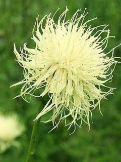 Centaurée, Centaurea ruthenica