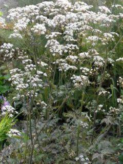 Cerfeuil sauvage - Anthriscus sylvestris Ravenswing