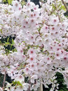 Cerisier à fleurs - Prunus yedoensis