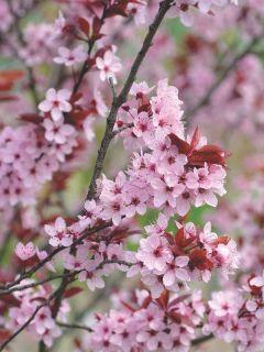 Prunier à fleurs - Prunus cerasifera Atropurpurea