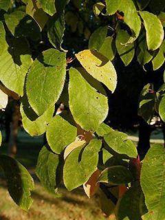 Cerisier à grappes, Bois puant