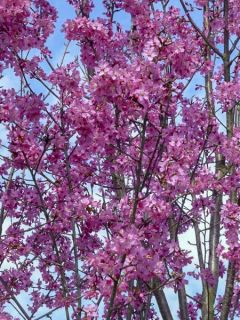 Cerisier à grappes 'Collingwood Ingram'