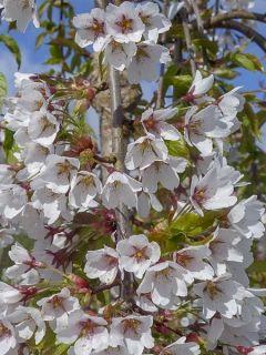 Cerisier à grappes 'Shidare Yoshino'