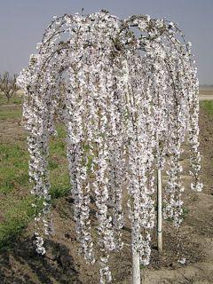 Cerisier à fleurs - Prunus Snow Fountains