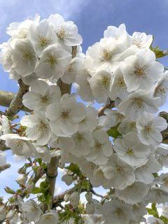 Cerisier à grappes 'Umineko'