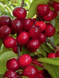 Cerisier Bigarreau Bigalise