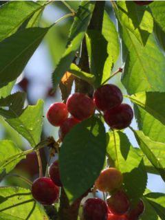 Cerisier Bigarreau Summit - Prunus avium