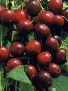 Cerisier Bigarreau Burlat - Gobelet en conteneur - Prunus avium