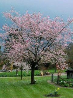 Cerisier à fleurs du Japon - Prunus Accolade