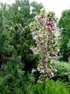 Prunus serrulata Amanogawa - Cerisier du Japon