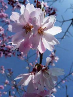 Cerisier à fleurs d'automne - Prunus x subhirtella  Autumnalis Rosea