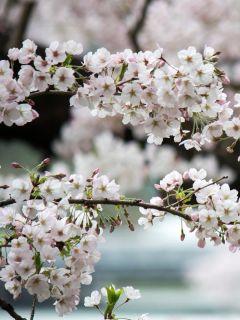 Cerisier à fleurs du Japon - Prunus nipponica Brillant