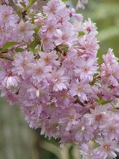 Cerisier à fleurs du Japon - Prunus x subhirtella Fukubana