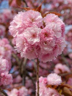 Cerisier à fleurs du Japon - Prunus serrulata Kanzan