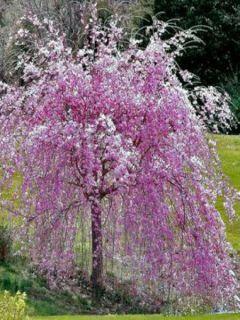 Cerisier à fleurs pleureur du Japon - Prunus serrulata Kiku-Shidare-Zakura