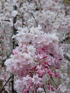 Cerisier du Japon 'Pendula'