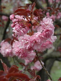 Cerisier du Japon - Prunus serrulata Royal Burgundy