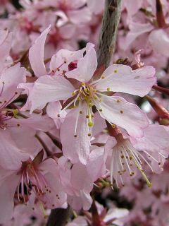 Cerisier du Japon 'Ruby'