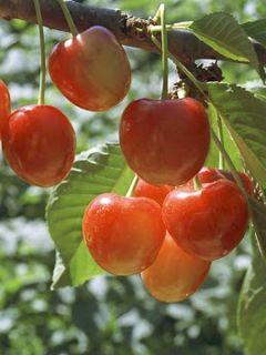 Cerisier 'Rainier'