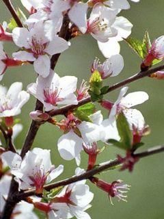 Ragouminier - Prunus tomentosa