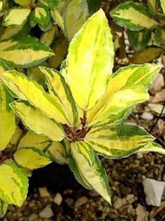 Elaeagnus ebbingei Eleador ® - Chalef de Ebbing panaché.