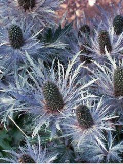Eryngium alpinum Blue Star, Panicaut, Chardon bleu des Alpes