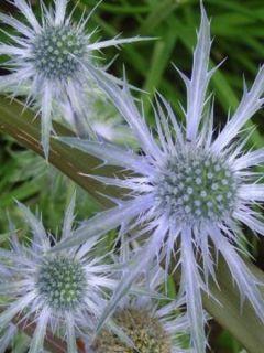 Chardon bleu, Panicaut à feuilles planes