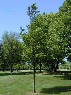 Carpinus betulus - Charme commun, Charmille