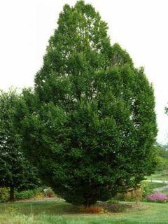 Carpinus betulus Fastigiata - Charme fastigié