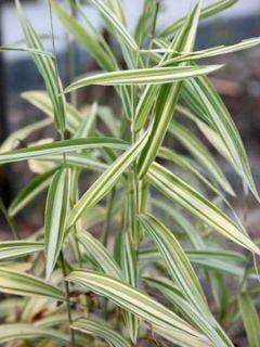Chasmanthium latifolium River Mist - Uniola latifolia