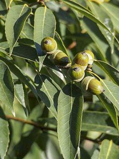Quercus myrsinifolia - Chêne à feuilles de myrsine
