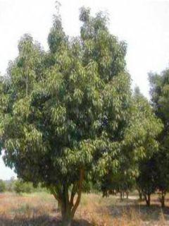 Chêne du Japon