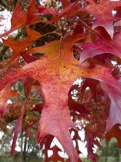 Chêne écarlate 'Splendens'