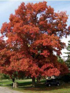 Chêne écarlate - Quercus coccinea