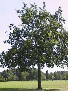 Chêne pédonculé - Quercus robur (pedonculata)