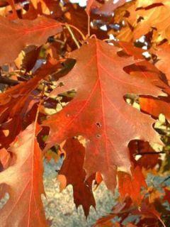 Quercus rubra - Chêne rouge d'Amérique