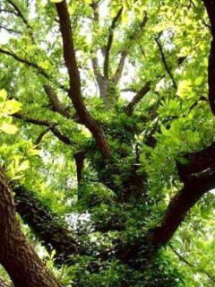 Chêne rouvre - Quercus petraea