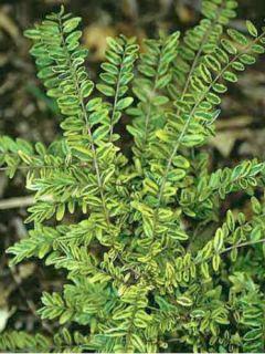 Lonicera nitida Lemon Beauty - Chèvrefeuille arbustif à feuilles de buis